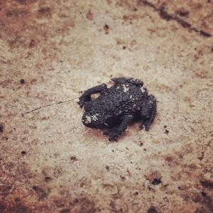 ロライマ山とクケナン山にしか存在しない真っ黒なカエル。おたまじゃくしを経ず、卵からカエルがうまれる。実際、私たちは散策の途中わずか5ミリほどの幼いカエルを発見した。