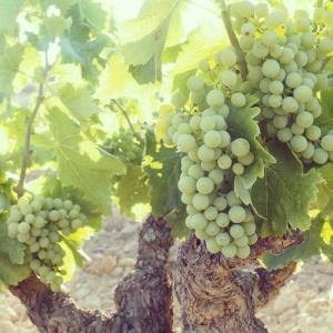 このぶどうが美味しい無農薬ワインになるのです。